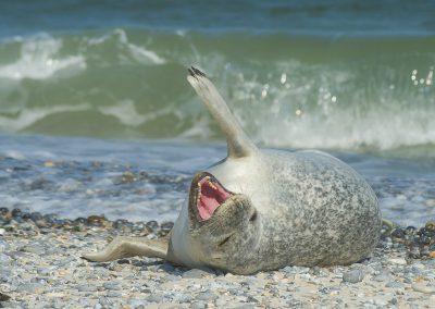 Seehund in den Wellen auf Helgoland | Faszination Tierfotografie - Hartmut Fehr