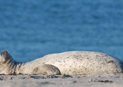 Heitere Gelassenheit: Seehund auf Helgoland | Faszination Tierfotografie - Hartmut Fehr