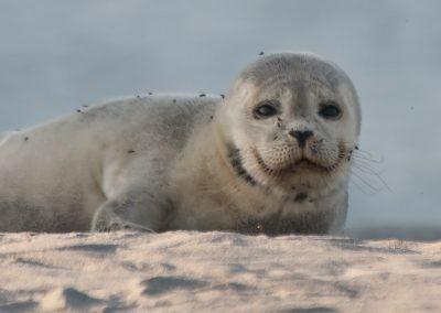 Seehundbaby mit Lungenwürmern auf Helgoland | Faszination Tierfotografie - Hartmut Fehr
