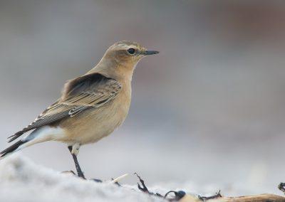 Steinschmätzer am Nordstrand auf Helgoland | Faszination Tierfotografie - Hartmut Fehr