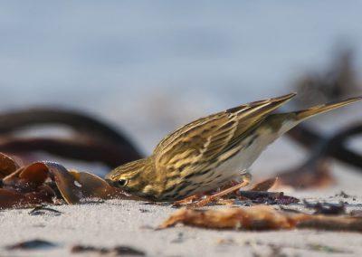 Wiesenpieper auf Helgoland | Faszination Tierfotografie - Hartmut Fehr