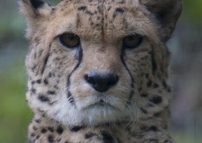 Gepard (Euregiozoo Aachen) - Foto des Monats August 2020 | Faszination Tierfotografie - Hartmut Fehr