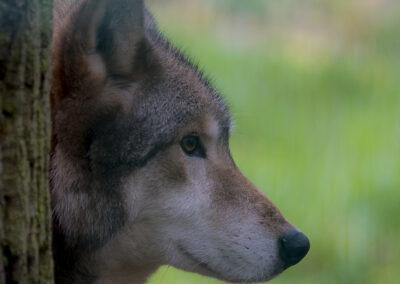Wolf - Foto des Monats Oktober 2020 | Faszination Tierfotografie - Hartmut Fehr